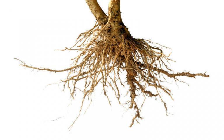Vårtor rötter
